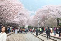 韩国樱花兔子台