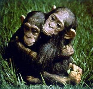 但目前,这种与人类同一祖先的动物却面临著灭绝的危险.