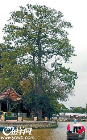 陶铸亲手种下的糖胶树.