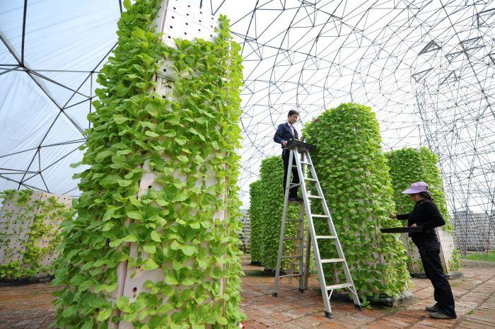 在一个半圆形的,塑胶薄膜覆盖的温室褃,一排排种植
