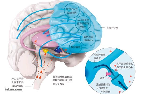 头部结构图带脑子