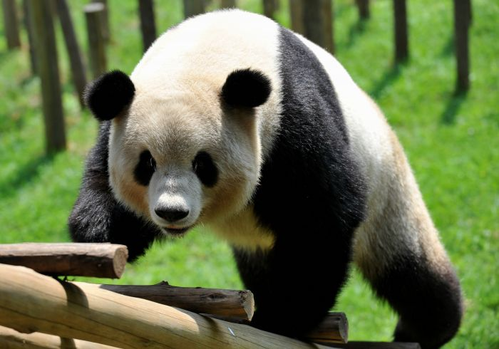 8月12日,大熊猫思嘉在云南野生动物园玩耍.新华社