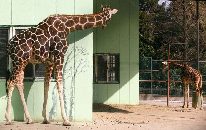 12月30日,南京红山森林动物园的长颈鹿在晒太阳.新华社