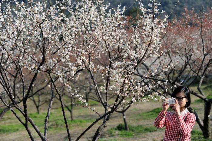 3月3日,游客在杭州余杭区超山风景区拍摄盛开的梅花.新华社