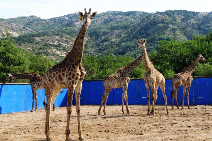 9月25日,青岛森林野生动物世界的非洲长颈鹿在漫步.新华社
