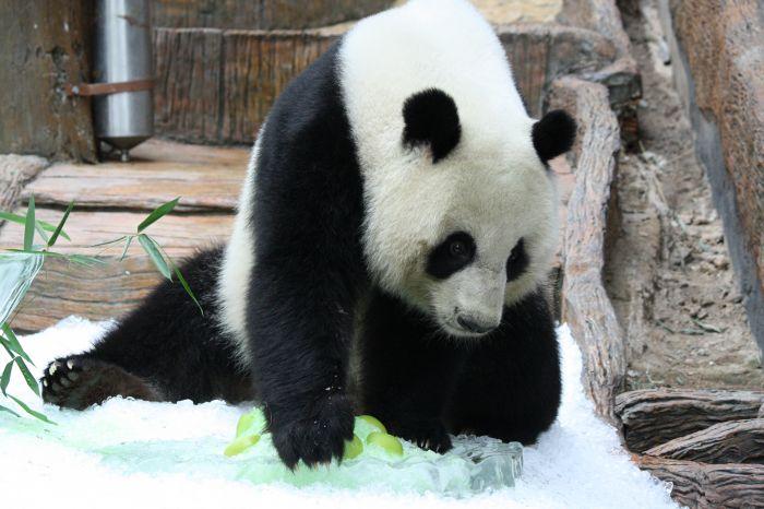 """9月27日,大熊猫""""林冰""""正在享用清迈动物园为其准备的竹子.新华社"""