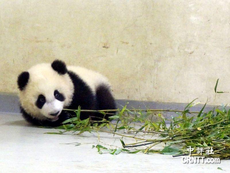 大熊猫宝宝圆仔还不能吃竹子