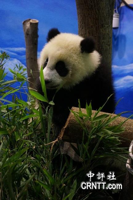 动物园14日在园区内展出一百只人气超旺的大熊猫「圆仔」纸雕,由于