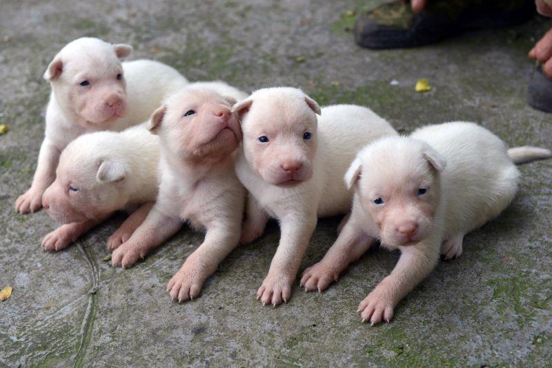 贵州纯种下司猎犬保种繁殖喜添丁(组图)