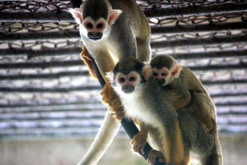 这是湖北十堰市人民公园动物园松鼠猴一家(6月17日摄).新华社