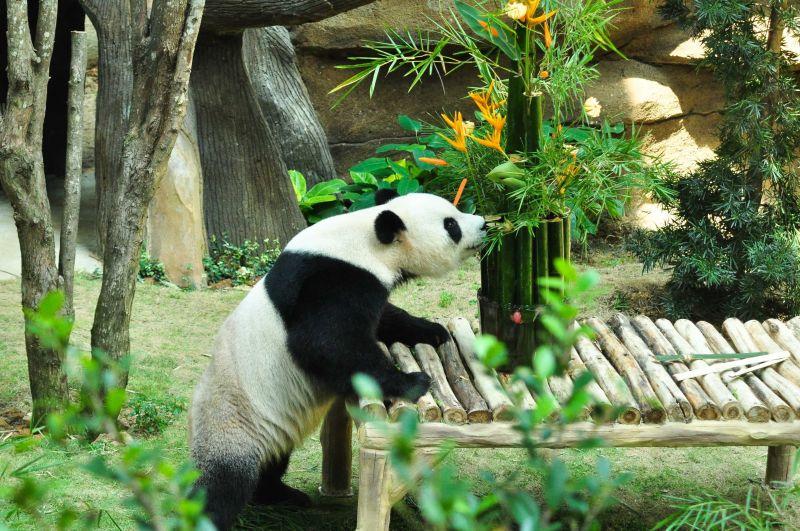 中国评论新闻:马来西亚动物园为大熊猫庆生(组图)