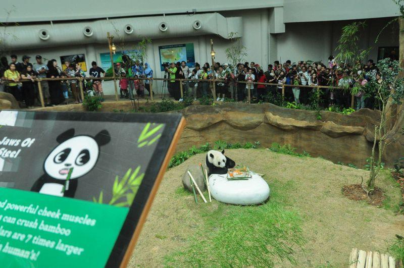 马来西亚动物园为大熊猫庆生(组图)
