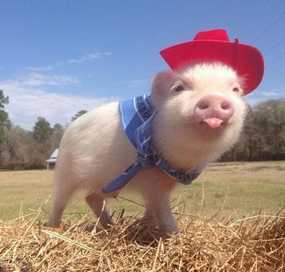 动物qq头像超萌猪