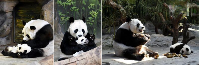 三胞胎大熊猫成长进入母兽带养为主阶段(图)