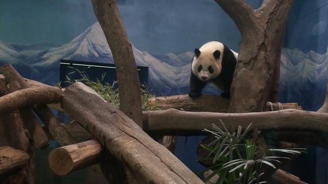 中評社台北1月8日電(記者 楊清雄)台北市立動物園的小熊貓圓仔長大了!園方特別幫圓仔安排了一間獨立的閨房,但甫斷奶的圓仔似乎還不適應獨自生活,不時在柵欄裡探索母親圓圓的行蹤;園方表示,自2014年1月6日公開亮相後,一年來圓仔至少吸引了290萬人次的遊客造訪貓熊館,迄今仍是動物園裡的招牌明星。   獲知園方要讓圓仔獨立生活,動物園的大貓熊館6日一早就聚集大批圓仔的粉絲,只見圓仔略為活動之後又跟媽媽討奶喝,圓圓稍微讓圓仔滿足之後,母女倆就各自活動,不久,保育員便輕聲呼喚圓圓,讓她回到室內,而圓