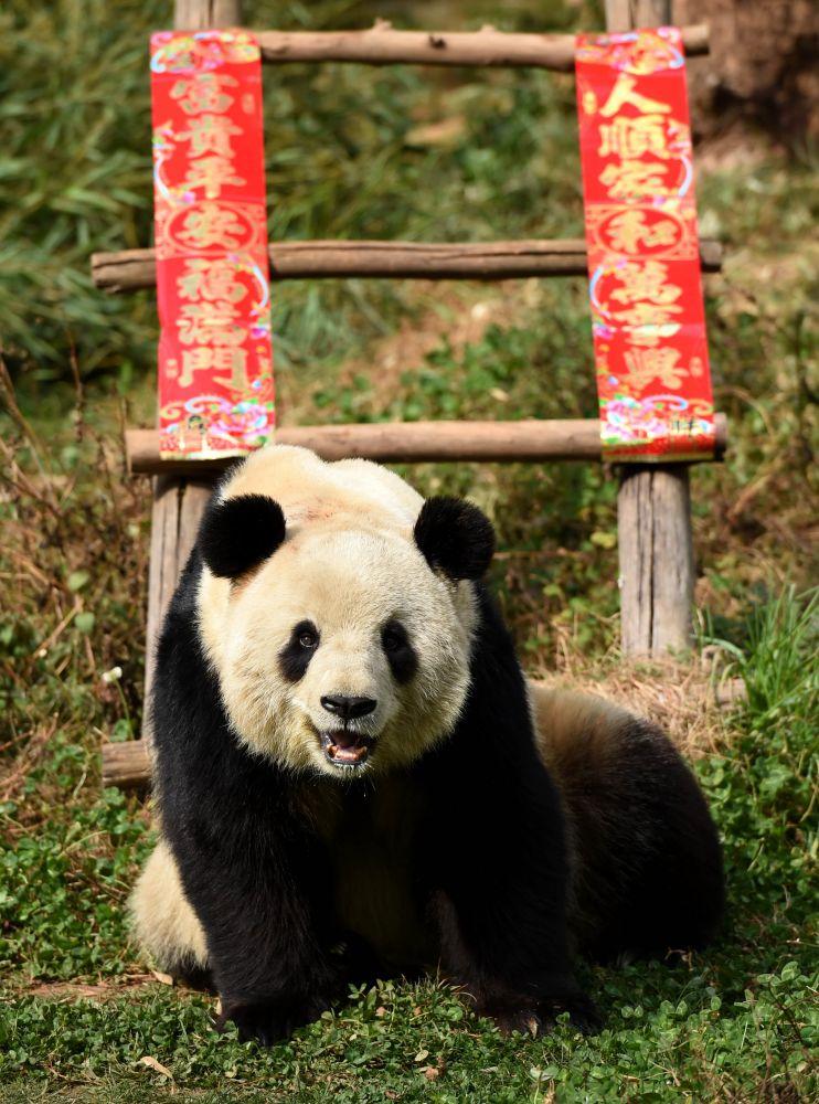 大熊猫思嘉在云南野生动物园裏晒太阳