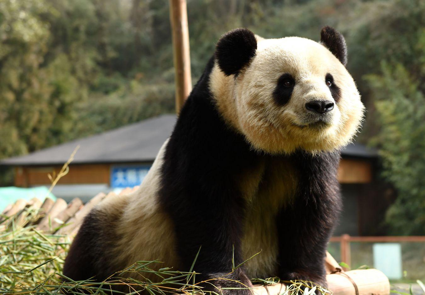 壁纸 大熊猫 动物 1350_938