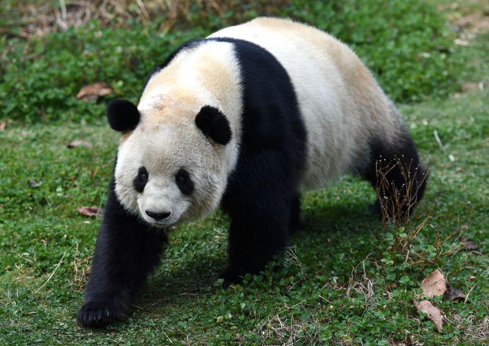 大熊猫思嘉在云南野生动物园内悠闲散步