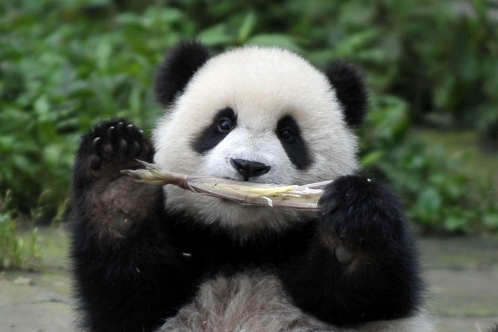在中国保护大熊猫研究中心雅安碧峰峡基地,一只大熊猫在吃竹笋(2014年
