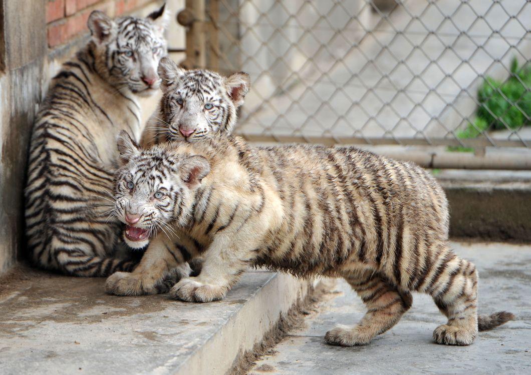 这是4月2日在西安秦岭野生动物园拍摄的小白虎三胞胎。当日,西安秦岭野生动物园白虎乐乐繁殖的三胞胎迎来百日,正式在公众面前亮相。2014年12月21日,雌虎乐乐在西安秦岭野生动物园诞下1雄2雌3只幼仔,这也是动物园建园11年来首次成功繁殖白虎。清明小长假期间,来园游客就可以见到这三只可爱的小白虎了。据园方介绍,白虎是孟加拉虎的色形变异品种,比普通的老虎更加珍稀,目前全世界共有200余只。新华社
