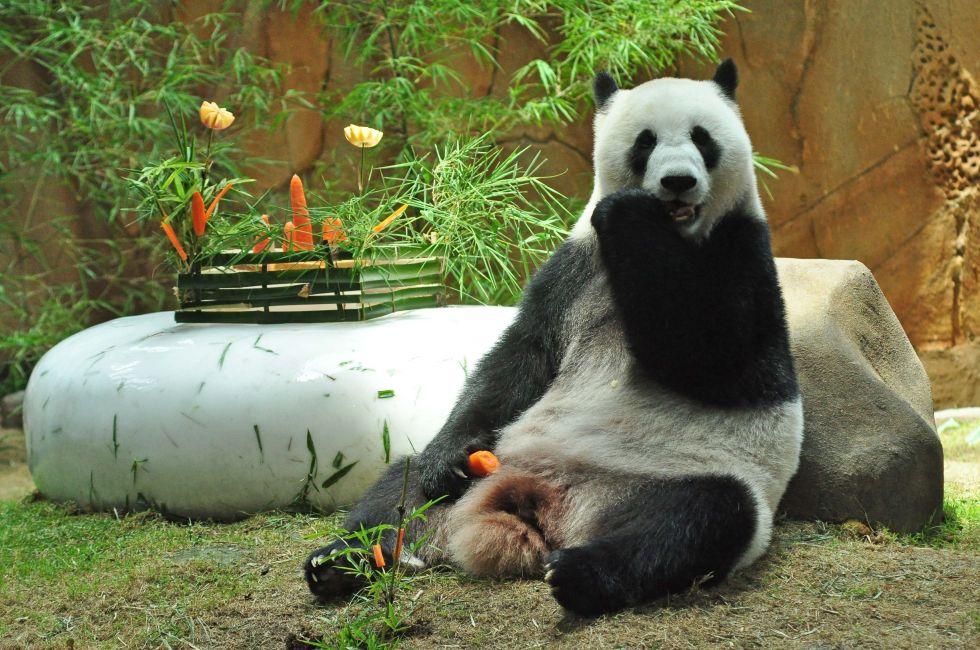 """这是大熊猫""""靓靓""""在马来西亚国家动物园为其举办的生日会上享用美食"""