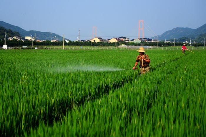 中评社北京9月7日电/眼下正是水稻抽穗杨花时期,也是稻瘟病、稻蝎虱等病虫害多发季节,抓好当前的防病治虫工作,有利於确保粮食丰收。 来源:新华社