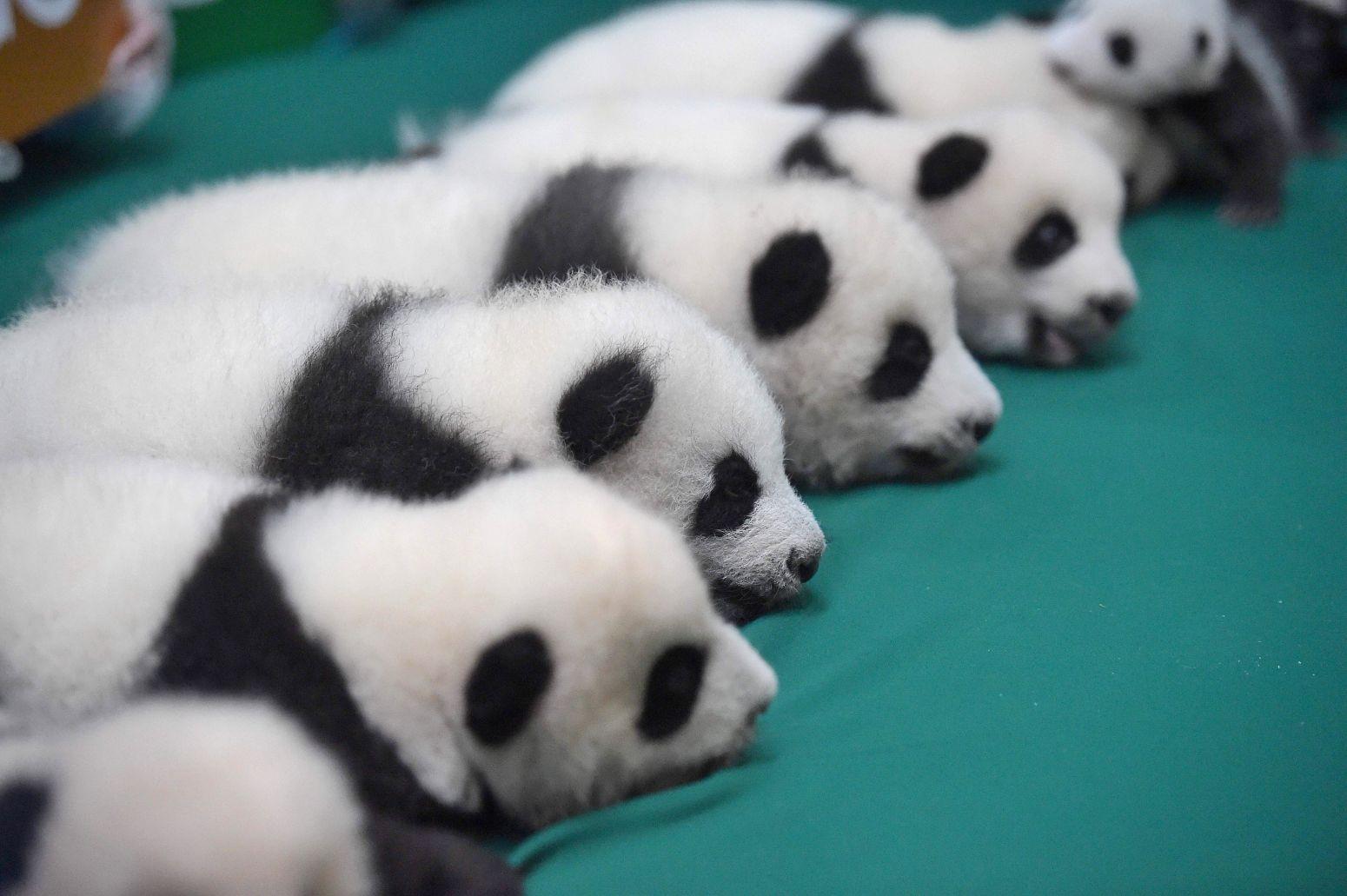 成都:今年新生双胞胎大熊猫集体亮相(组图)
