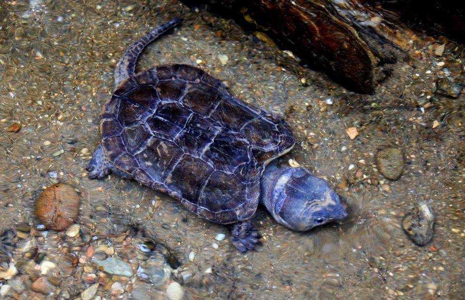 珍稀野生水生动物平胸龟黄山繁育成功(组图)