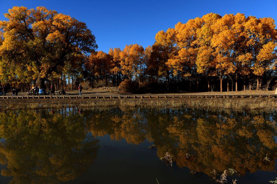 日拍摄的额济纳胡杨林.内蒙古自治区额济纳旗胡杨林是世界上仅存