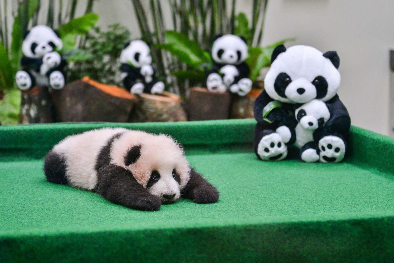 动物园拍摄的熊猫宝宝