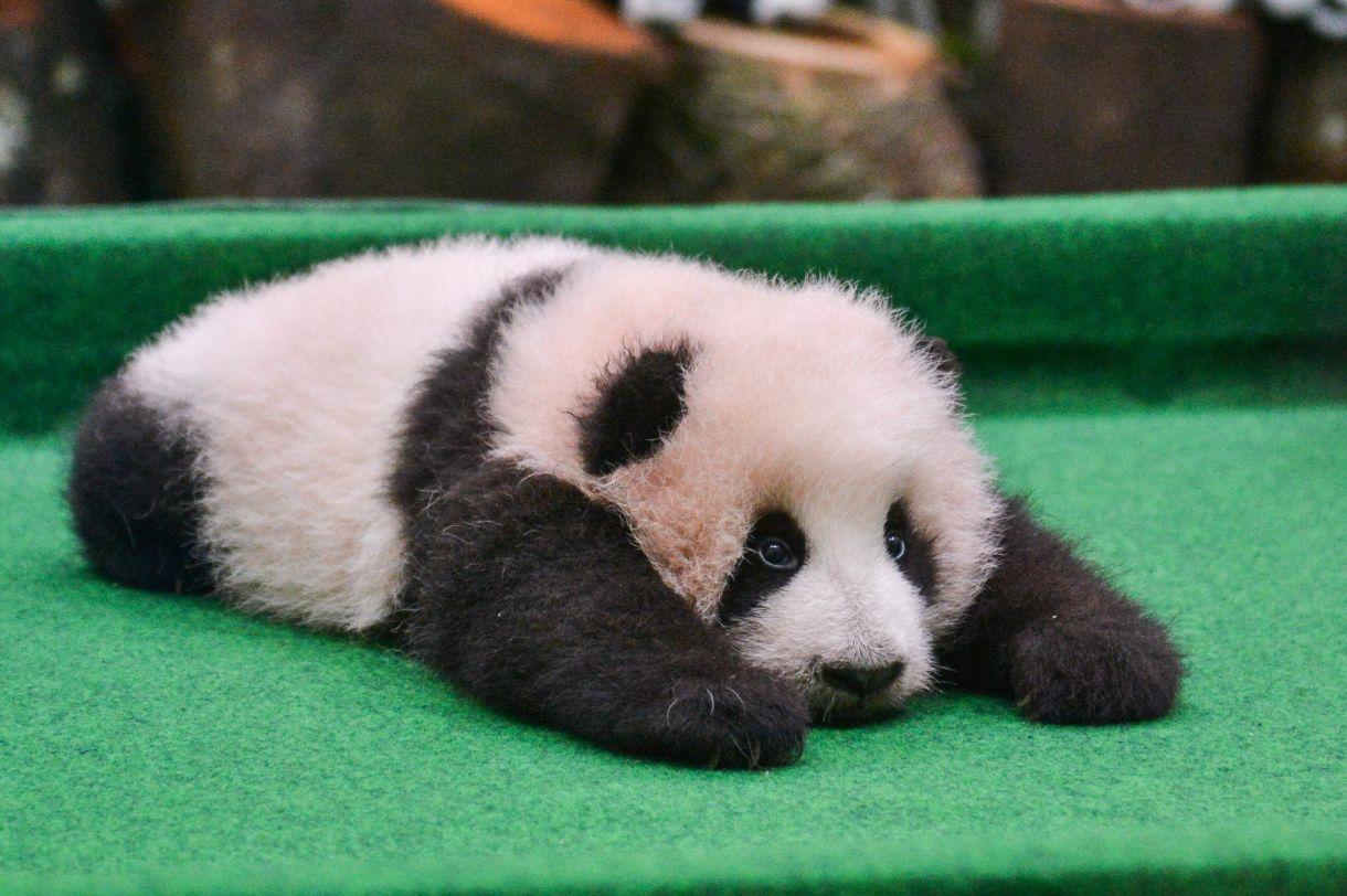 这是11月17日在马来西亚国家动物园拍摄的熊猫宝宝.新华社
