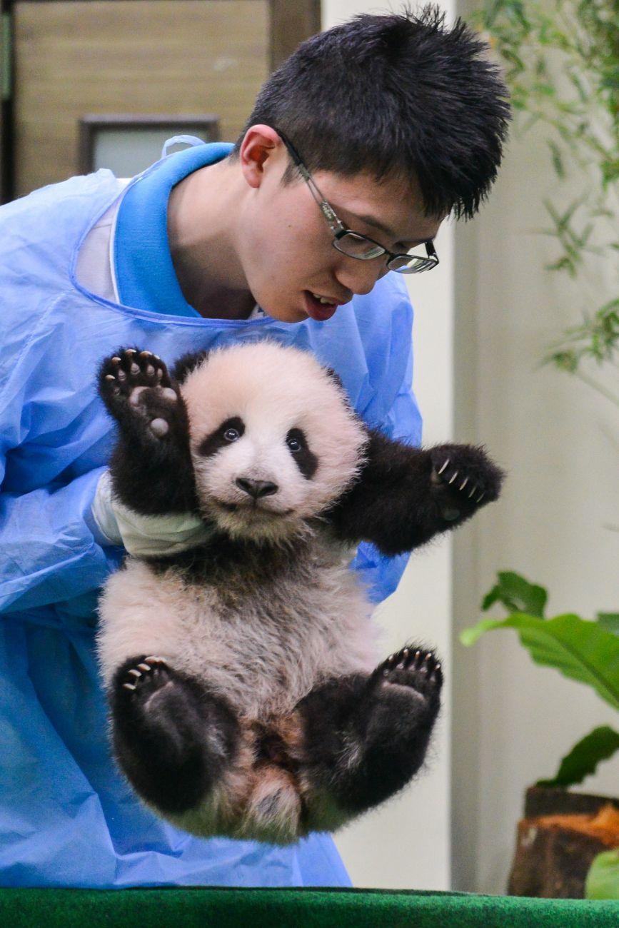 11月17日,在马来西亚国家动物园,工作人员在照顾熊猫宝宝.新华社