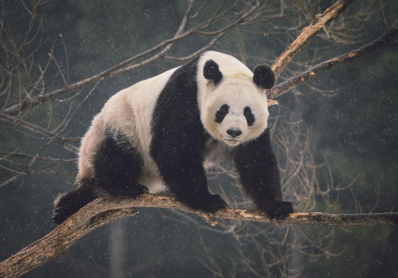 壁纸 大熊猫 动物 1300_907