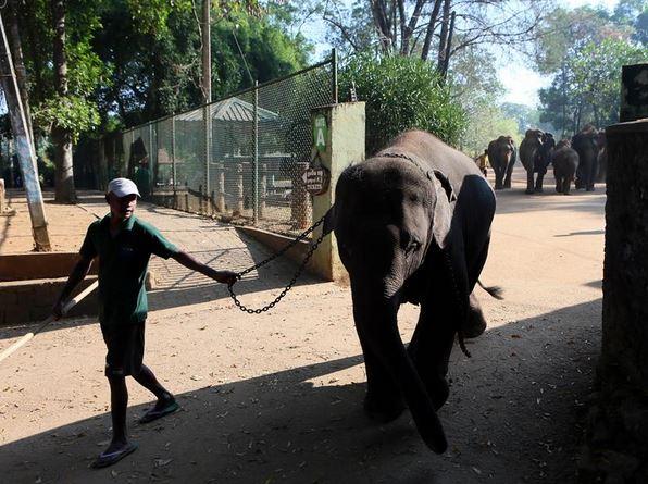 养员牵著大象到河里洗澡.-探访世界上第一所大象孤儿院图片