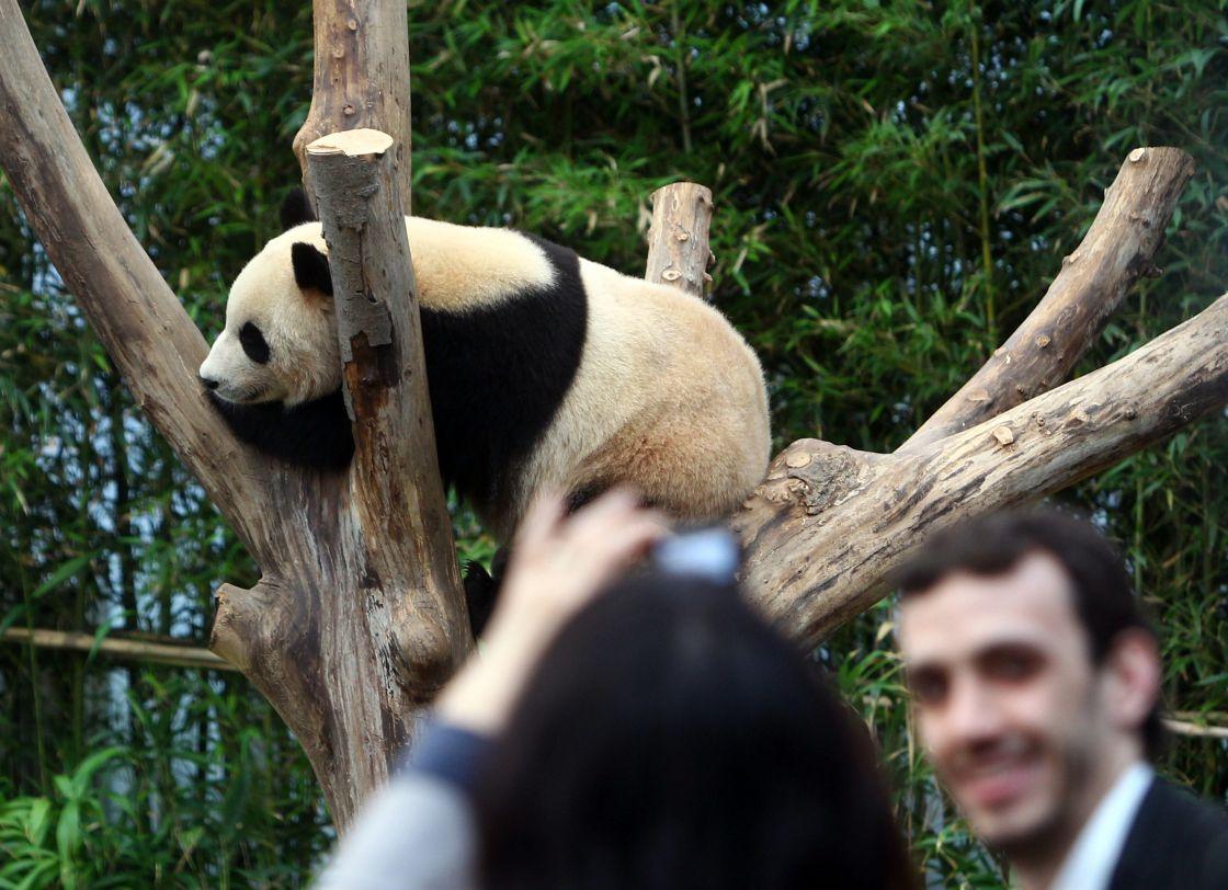 壁纸 大熊猫 动物 1120_812