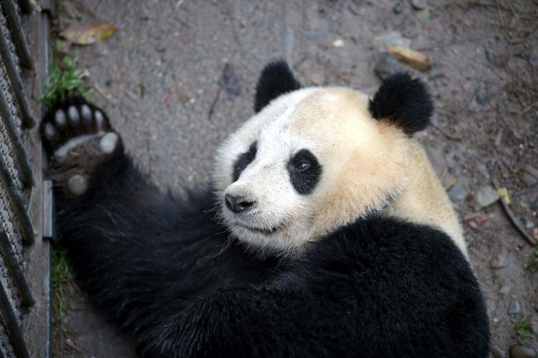 中国大熊猫保护研究中心为雌性大熊猫配种(图)