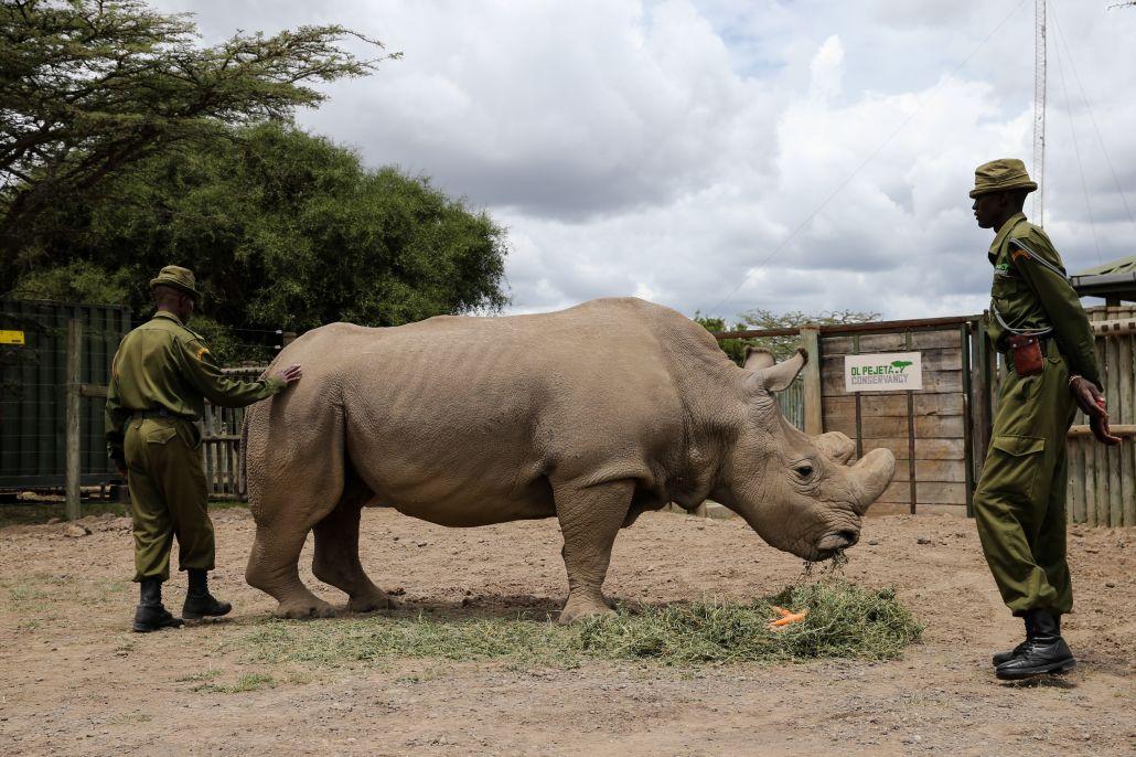 """4月28日,在肯尼亚的奥尔佩杰塔野生动物保护区,北方白犀牛""""苏丹""""在"""