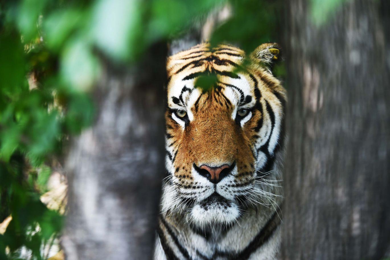 在黑龙江省横道河子东北虎林园散放区拍摄的一只东北虎(7月12日摄).图片