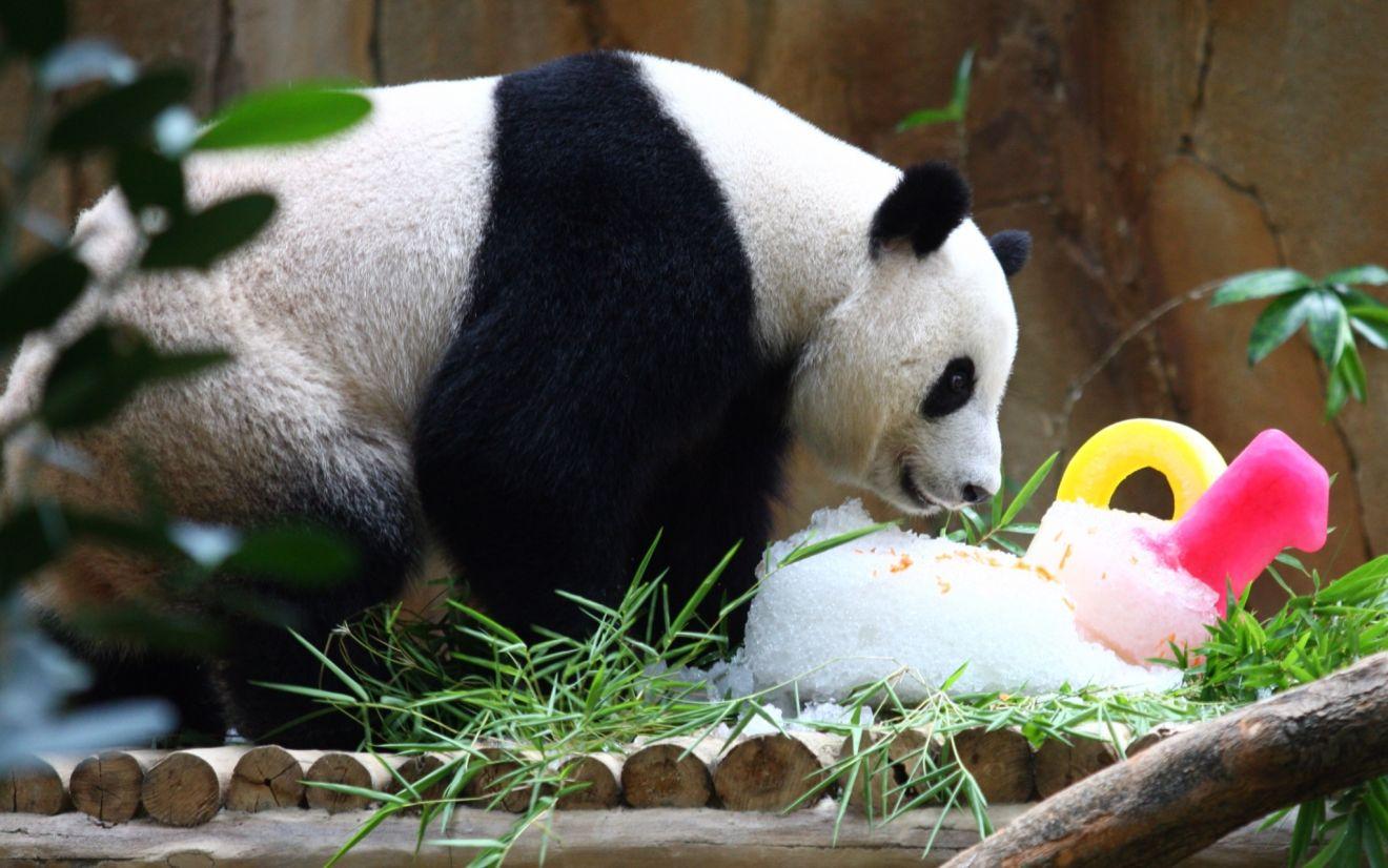 8月23日,在馬來西亞吉隆坡,大熊貓靚靚享用動物園特製的生日餐。當日,馬來西亞動物園為中國租借給馬來西亞的大熊貓興興與靚靚慶祝10歲生日。興興和靚靚是為慶祝中馬兩國建交40週年,中國租借給馬來西亞的一對大熊貓,於2014年5月抵達吉隆坡,並於2015年8月18日產下熊貓寶寶暖暖。新華社