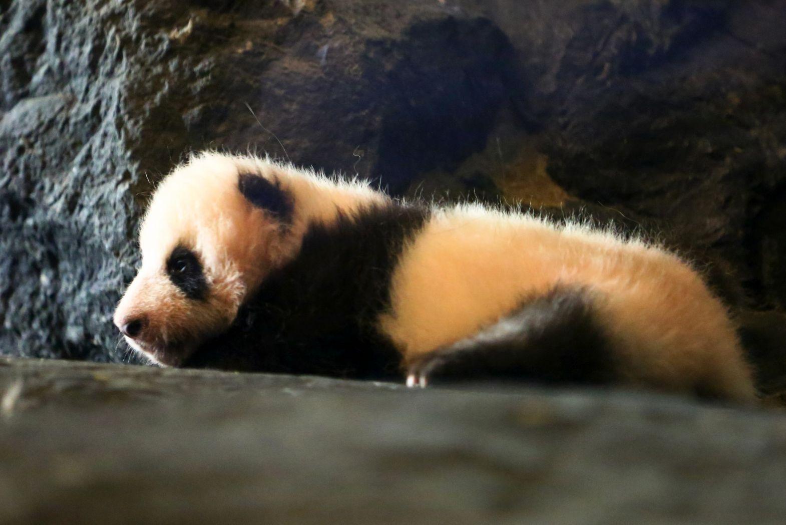 比利时出生的大熊猫宝宝亮相动物园(组图)