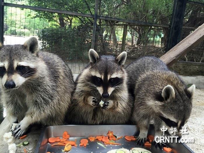 """新竹市动物园特制""""动物月饼"""",让动物们尝鲜,中秋节相当应景."""