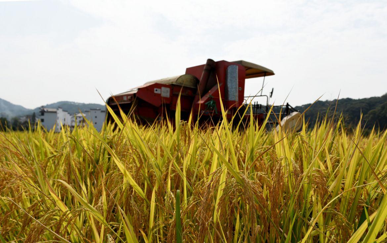 宜宾乡村稻田风景