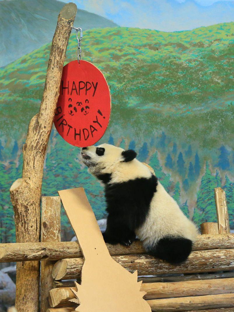 加拿大出生的龙凤胎熊猫宝宝欢庆周岁(组图)
