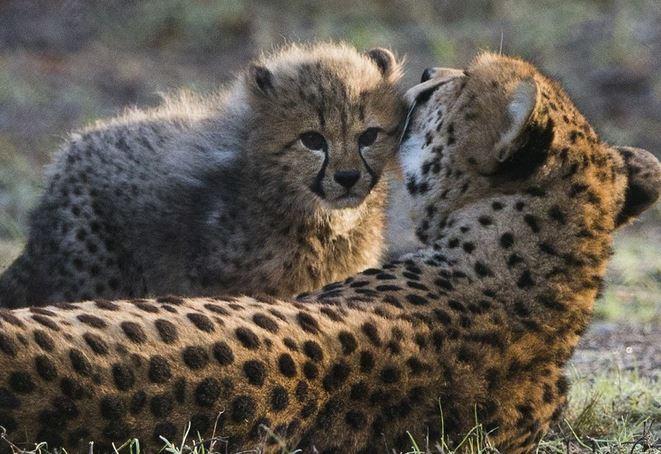 六胞胎猎豹宝宝首次亮相 羞涩惹人爱