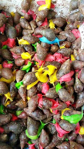 彩色蝸牛熱銷成小學生新寵 專家:入侵物種