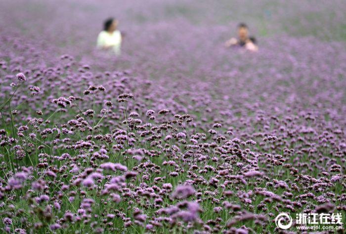 微信群杀号论坛:杭州:�R鞭草,那一片紫色的花海